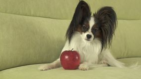 Beautiful young male dog Papillon with red apple on the couch stock photo