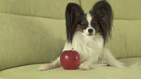 Beautiful young male dog Papillon with red apple on the couch. Beautiful young male dog Papillon with a red apple on the couch royalty free stock photography