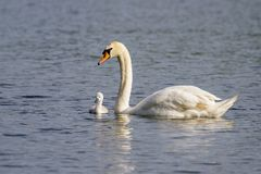 Free Beautiful Young Mute Swan Cygnet Cygnus Olor On River Stock Images - 119423994