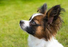 Beautiful young papillon dog outside. With green grass in the background Stock Photo