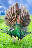 Beautiful young peacock Royalty Free Stock Photos