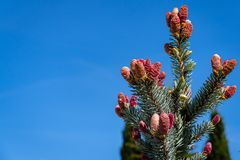 Beautiful young pink cones on blue spruce Picea pungens Hoopsii. Silver blue spruce looks very impressive against blue sky. Selective focus. There is a place royalty free stock photos
