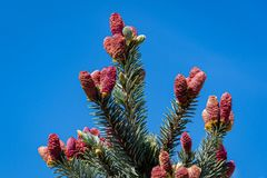 Beautiful young pink cones on blue spruce Picea pungens Hoopsii. Silver blue spruce looks very impressive against blue sky. Selective focus. There is a place stock photography