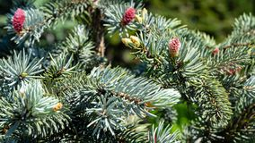 Beautiful young pink cones on blue spruce Picea pungens Hoopsii. Silver blue spruce in combination with evergreen. Plants looks very impressive in any garden royalty free stock photography