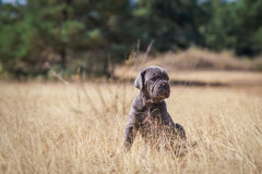 Beautiful young puppy italian mastiff cane corso. In the dry grass in sunny day Stock Photography