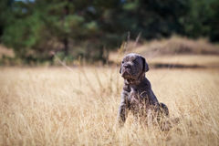 Beautiful young puppy italian mastiff cane corso. In the dry grass in sunny day Stock Images