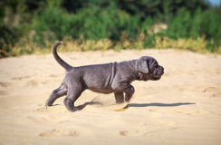 Beautiful young puppy italian mastiff cane corso (1 month). Moves on the sand. Side view Stock Photo