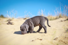 Beautiful young puppy italian mastiff cane corso (1 month). Moves on the sand and sniffs all around Stock Image
