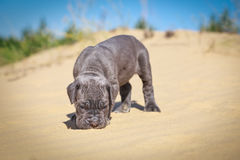 Beautiful young puppy italian mastiff cane corso (1 month). Moves on the sand and sniffs all around Stock Images