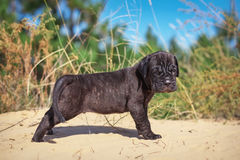 Beautiful young puppy italian mastiff cane corso. (1 month) on the sand with dry grass Royalty Free Stock Images