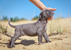 Beautiful young puppy italian mastiff cane corso (1 month). On the sand. Side view. The owner stroking her dog Stock Photos
