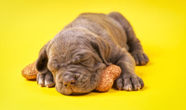 Beautiful young puppy italian mastiff cane corso (1 month). Sleeping on toy bone on yellow background Royalty Free Stock Images
