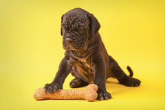 Beautiful young puppy italian mastiff cane corso (1 month). With toy bone on yellow background Stock Photos