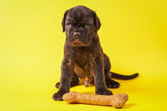 Beautiful young puppy italian mastiff cane corso (1 month). With toy bone on yellow background Stock Image