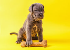 Beautiful young puppy italian mastiff cane corso (1 month). With toy bone on yellow background Stock Photography