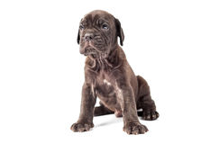 Beautiful young puppy italian mastiff cane corso (1 month). On white background Stock Photos