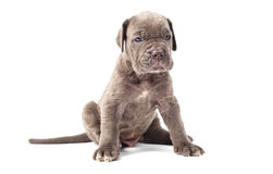 Beautiful young puppy italian mastiff cane corso (1 month). On white background Stock Photo
