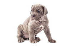 Beautiful young puppy italian mastiff cane corso (1 month) Royalty Free Stock Photography