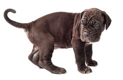 Beautiful young puppy italian mastiff cane corso 1 month. On white background Royalty Free Stock Photos