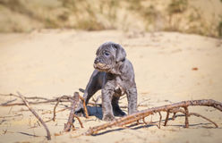 Beautiful young puppy italian mastiff cane corso on the sand. In sunny day Royalty Free Stock Photography