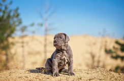 Beautiful young puppy italian mastiff cane corso on the sand. In sunny day Royalty Free Stock Photo