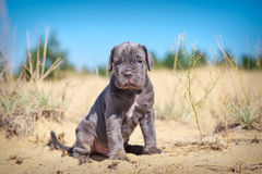 Beautiful young puppy italian mastiff cane corso on the sand. In sunny day Stock Image