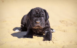 Beautiful young puppy italian mastiff cane corso sits Stock Image