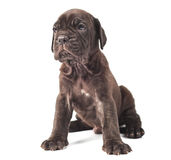 Beautiful young puppy italian mastiff cane corso. On white background Stock Photos