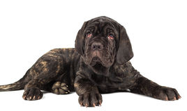 Beautiful young puppy italian mastiff cane corso. On white background Royalty Free Stock Photos