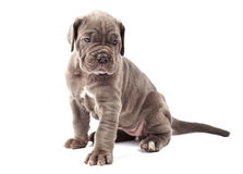 Beautiful young puppy italian mastiff cane corso Stock Photos