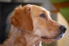 Young golden retriever profile view royalty free stock images