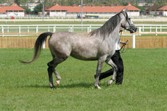 Beautiful young purebred gray arabian mare Stock Photography
