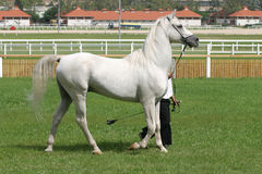 Beautiful young purebred gray arabian stallion Stock Images