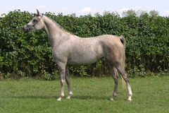 Beautiful young purebred gray arabian stallion Stock Image