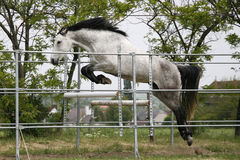 Beautiful young purebred horse jump over barrier. Free jumping Royalty Free Stock Photography
