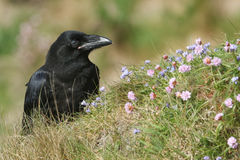A beautiful young Raven Corvus corax perched on the clifftop on Orkney, Scotland surrounded by wildflowers. Stock Image