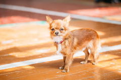 Beautiful Young Red Brown And White  Tiny Chihuahua Dog Staying Stock Photos