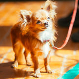Beautiful Young Red Brown And White  Tiny Chihuahua Dog Staying Royalty Free Stock Photography