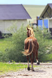 Beautiful young red horse returning home Stock Photos