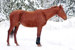 Beautiful young red horse in snow paddock day Royalty Free Stock Photos