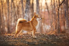 Beautiful Young Red Shiba Inu Dog Standing Outdoor In Meadow at golden Sunset stock photos