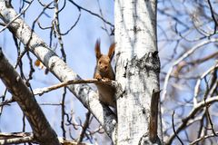 Beautiful young red squirrel attentively observes the environment. In the forest stock photography