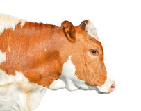 Beautiful young red and white spotted cow isolated on white. Portrait of funny red cow  isolated on white close up. Royalty Free Stock Images