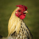 A beautiful young rooster Royalty Free Stock Photography