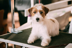 Beautiful Young Rough Coated Jack Russell Terrier Dog. Small ter Royalty Free Stock Images