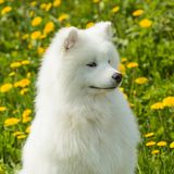 Beautiful young Samoyed dog on a background of grass and dandeli Stock Photos