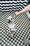 Beautiful young Shih tzu dog with big eyes standing on the paws. Begs his lady for food stock photo