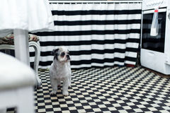 Beautiful young Shih tzu dog standing on the floor. In the kitchen royalty free stock photos