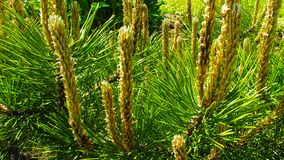 Beautiful Young Shoots Of The Pine. Royalty Free Stock Images