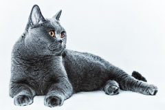 Beautiful young short-haired British gray cat with yellow eyes o Royalty Free Stock Photography